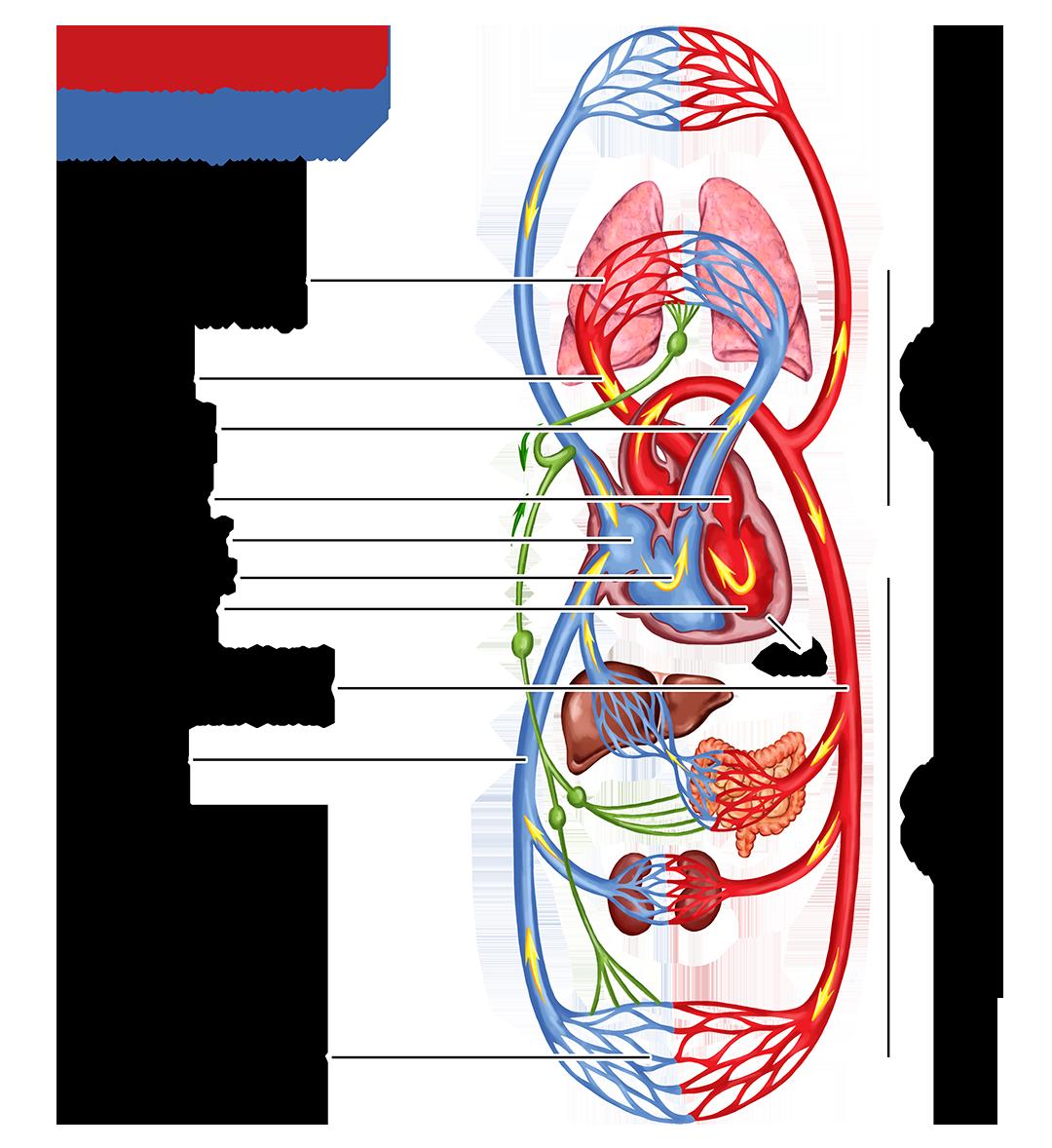 Kleiner- und großer Kreislauf Herz-Kreislauf-System