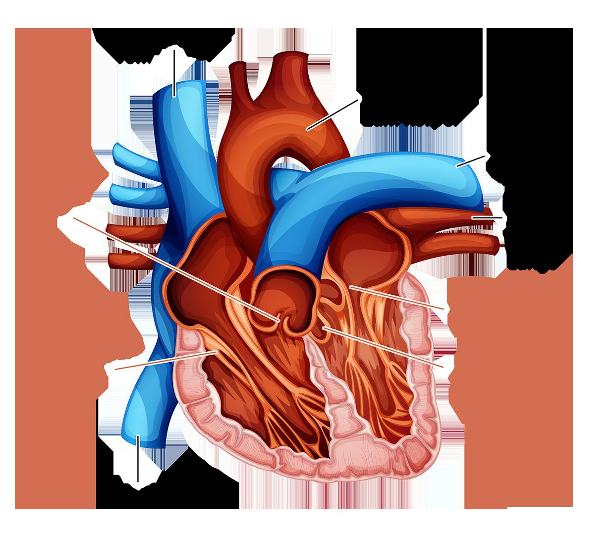 Niederdrucksystem Herz-Kreislauf-System