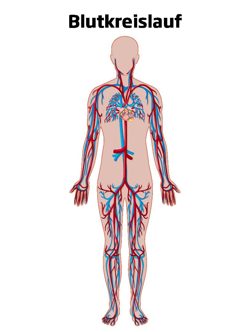 Blutkreislauf Herz-Kreislauf-System