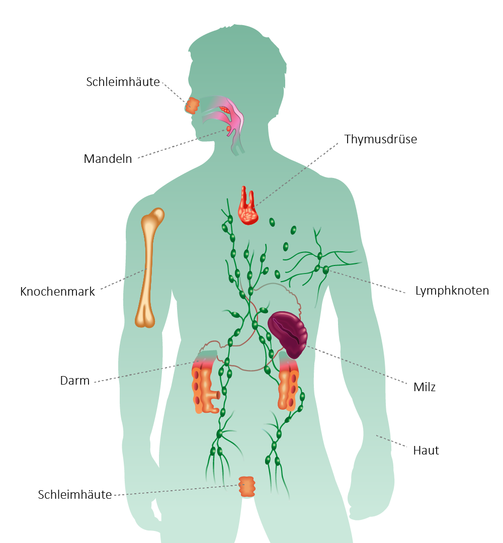 organe koerper lymphatisches-system